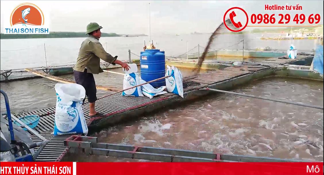 Mô hình nuôi cá diêu hồng trên sông năng suất cao