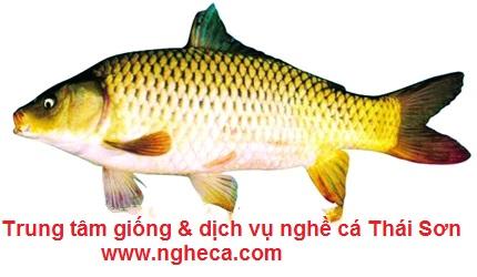 Cá chép Lai F1