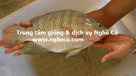 Kỹ thuật nuôi thâm canh cá rô phi theo mô hình Gap