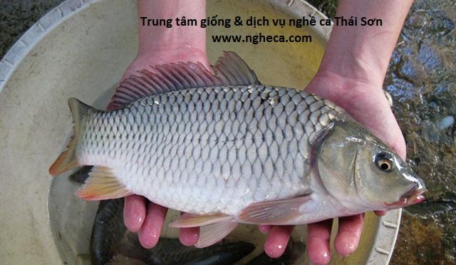 Phòng bệnh do virus gây ra trên cá chép