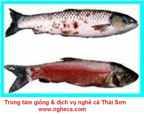 Hướng dẫn phòng và trị bệnh xuất huyết trên cá trắm cỏ